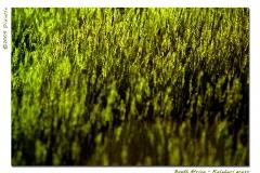 Kalahari grass