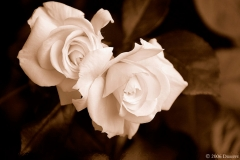 Our roses s